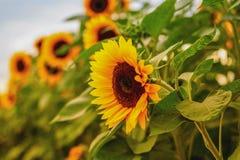 Złoty słonecznika pole w jesieni obrazy royalty free