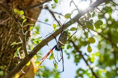 Złoty sieć pająk zdjęcie stock