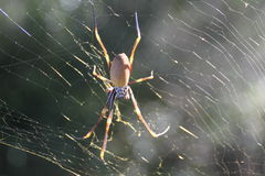 Złoty sieć pająk Fotografia Royalty Free