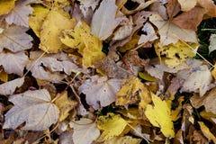 złoty spadek liść Zdjęcie Royalty Free