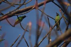 Złoty stać na czele Leafbird zdjęcie royalty free