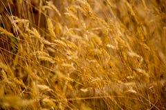 Złoty suchej trawy pola siana tło obraz stock