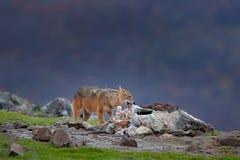 Złoty szakal, Canis aureus, żywieniowa scena z ścierwem, Madzharovo, Wschodni Rhodopes, Bułgaria Przyroda Bałkańska Dzikiego psa  zdjęcie stock