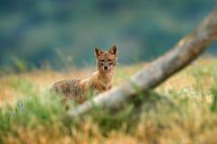 Złoty szakal, Canis aureus, żywieniowa scena z trawy łąką, Madzharovo, Rhodopes, Bułgaria Przyroda Bałkańska Dzikiego psa zachowa fotografia stock
