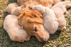 Złoty szczeniak śpi Fotografia Stock