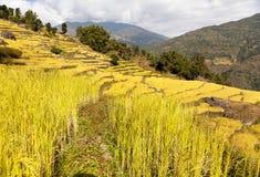 Złoty tarasowaty ryżu pole w Solukhumbu dolinie fotografia stock