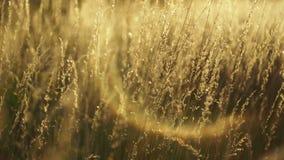 Złoty trawy chodzenie z wiatrowymi bokeh okręgami w tle zbiory