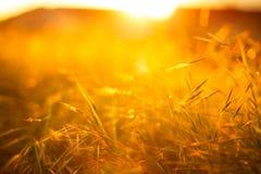Złoty trawy pole pod miękkim światłem słonecznym Zdjęcia Royalty Free