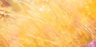 Złoty trawy tło fotografia royalty free