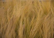 Złoty trawy tło dla spadku Fotografia Stock