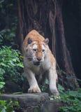 Złoty tygrys zdjęcie royalty free