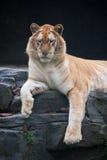 Złoty tygrys zdjęcia royalty free