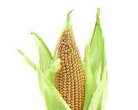 Złoty ucho w środowisku zieleni liście. Obraz Royalty Free