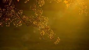 Złoty ulistnienie drzewo na tle sunbeam zdjęcie wideo