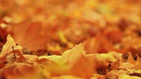 Złoty ulistnienie spadać jesień liści klonowych flance zdjęcie wideo