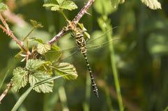 Złoty Upierścieniony Dragonfly obrazy stock