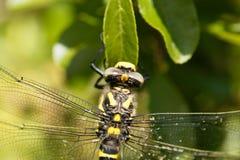 Złoty upierścieniony dragonfly Cordulegaster boltonii Fotografia Royalty Free
