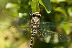 Złoty upierścieniony dragonfly Cordulegaster boltonii Zdjęcia Royalty Free