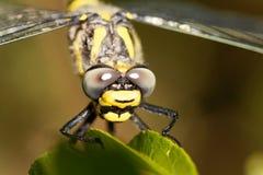 Złoty upierścieniony dragonfly Cordulegaster boltonii Zdjęcia Stock