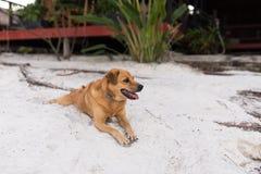 Złoty włosy pies relaksuje na białym piasku Fotografia Royalty Free