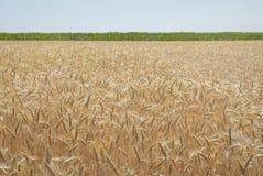 Złoty zbożowy pole z zielonym horyzontem i niebieskim niebem obrazy stock