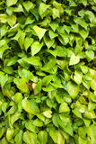 Złoty zielony Pothos tekstury tło Zdjęcie Royalty Free
