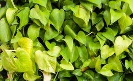 Złoty zielony Pothos tekstury tło Obraz Royalty Free