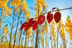 Złotych liści jesienna sceneria i czerwień Zdjęcia Royalty Free