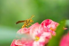 Zły osy obsiadanie na różowym kwiacie Zdjęcie Stock