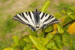 Z łamanymi skrzydłami duży motyl Fotografia Stock