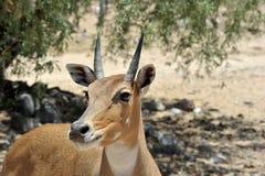 Z Afryka przyrody safari zoo parka Obraz Royalty Free