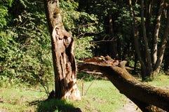 złamany drzewo Obrazy Stock