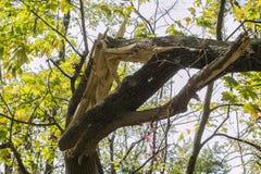 złamany drzewo Obraz Royalty Free