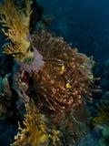Z anemonefish wspaniały czerwony anemon fotografia stock