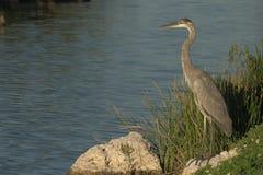 złap niebieskiego dnia wielcy heron ostatnie spojrzenia Zdjęcie Royalty Free