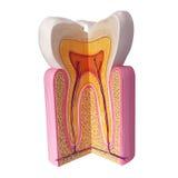 Ząb anatomia Zdjęcia Royalty Free