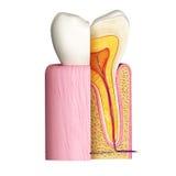 Ząb anatomia boczny widok Zdjęcia Stock