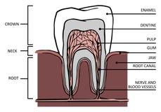 Ząb struktura Fotografia Stock
