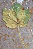 z bliska opuszczający jeden liść od drzewa zakrywającego z podeszczowymi kroplami fotografia royalty free