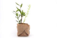 Z brances oliwna roślina Zdjęcia Royalty Free