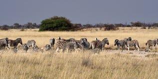 Z?bre de montagne, z?bre d'Equus en parc national d'Etosha, Namibie image libre de droits