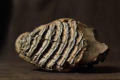 zębu frontowy mamutowy widok zdjęcia royalty free