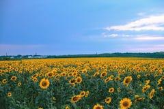 Z chmurnym niebieskim niebem słonecznika pole Zdjęcia Royalty Free