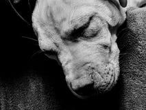 Z& x27 di Pupper; s fotografie stock libere da diritti