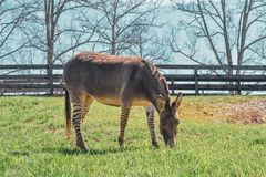 Z-Donk Grazing with fence behind it royalty free stock photo