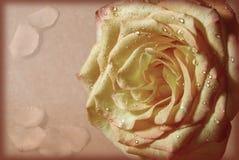 z drzejącej płatek róży Zdjęcia Royalty Free