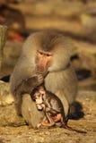 Z dziecko małą małpą męski pawian fotografia stock