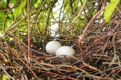 Z jajkami ptaka gniazdeczko obraz royalty free