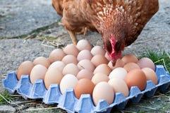 Z jajkami warstwy Karmazynka fotografia royalty free