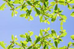 Z kości słoniowej wybrzeża migdałowy drzewo Zdjęcia Royalty Free